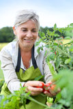 Happy woman picking up first tomatoes from garden Royalty Free Stock Photos