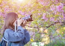 Happy woman traveler take photos by camera with cherry blossoms tree on vacation while spring royalty free stock image