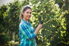 Happy woman in vineyard checking grapes Royalty Free Stock Photography