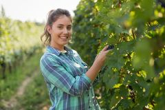 Happy woman in vineyard checking grapes Stock Images