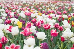 Free Happy Womens Day. Spring Floral Background. Perfume Fragrance And Aroma. Flowers Shop. Growing Flowers. Netherlands Royalty Free Stock Photo - 184275065