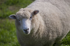 Happy woolley sheep Royalty Free Stock Photo