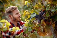 Happy worker picking black grapes on vineyard stock image
