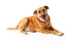 Happy Yellow Dog Royalty Free Stock Photos