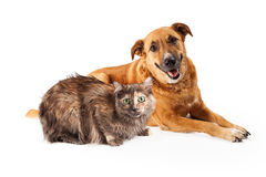 Happy Yellow Dog and Persian Cat Stock Photo