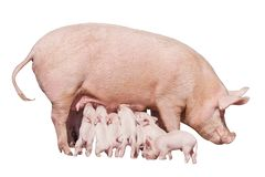 Happy yellow earth pig isolated on white background. Sow and piglets. Symbol of the Chinese New Year. Little piglets eat milk from. Mom. Mother pig feed stock photo