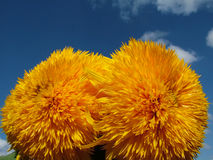 Happy yellow flowers in the sky. Two spherical round happy yellow flower on the blue sky Stock Photo