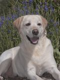 Happy Yellow Lab Posed in a Lavender Field royalty free stock images