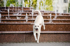 Happy yellow labrador dog jumping from the fountain Royalty Free Stock Photo
