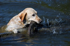 Happy yellow labrador dog swimming in the water. With wooden stick royalty free stock image