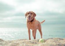 Happy Yellow labrador Playing fetch on a Beach stock photos