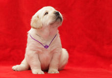 Happy yellow labrador puppy Stock Photography
