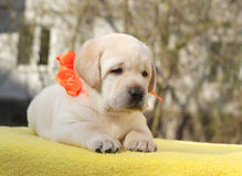 Happy yellow labrador puppy Stock Photo