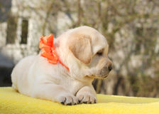 Happy yellow labrador puppy Stock Images