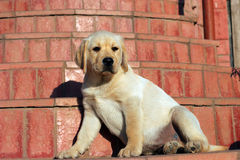 Happy yellow labrador puppy Royalty Free Stock Image