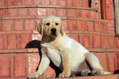Happy yellow labrador puppy Royalty Free Stock Image