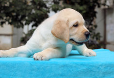 Happy yellow labrador puppy Royalty Free Stock Images