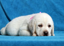 Happy yellow labrador puppy laying close up Royalty Free Stock Images