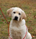 Happy yellow labrador puppy Stock Photo
