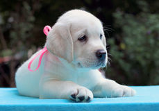 Happy yellow labrador puppy portrait on blue Royalty Free Stock Photos