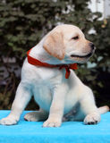 Happy yellow labrador puppy portrait close Royalty Free Stock Photos