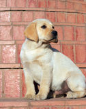 Happy yellow labrador puppy portrait Royalty Free Stock Photography