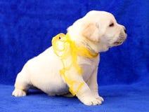 Happy yellow labrador puppy portrait close up Royalty Free Stock Image