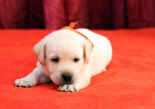 Happy yellow labrador puppy portrait close up on red Royalty Free Stock Photos