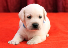 Happy yellow labrador puppy portrait close up on red Stock Photo