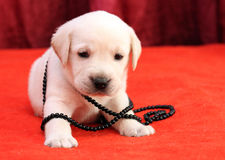 Happy yellow labrador puppy portrait on red with beads Stock Photography