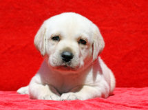 Happy yellow labrador puppy portrait on red Stock Photo