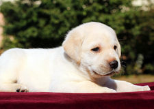 Happy yellow labrador puppy portrait on red Royalty Free Stock Photos