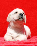 Happy yellow labrador puppy smiling portrait on red Royalty Free Stock Images