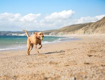 Yellow Labrador retriever dog playing fetch on a sandy beach. A happy yellow Labrador Retriever dog running along a sandy beach with the ocean behind and royalty free stock image