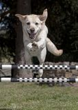 Happy Yellow Labrador Retriever Jumping an Agility Hurdle royalty free stock images