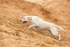 Happy yellow labrador. Happy yellow labrador running up hill Royalty Free Stock Photo