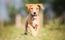 Happy yellow puppy running Stock Photo