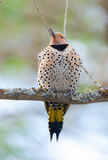 Happy yellow shafted flicker - Colaptes auratus on a springtime tree branch. Royalty Free Stock Photos