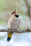Happy yellow shafted flicker - Colaptes auratus on a springtime tree branch. Royalty Free Stock Photography