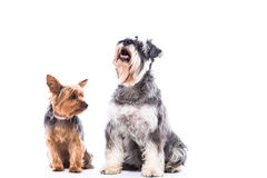 Happy Yorkie and schnauzer sitting waiting Royalty Free Stock Images