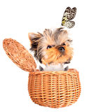Happy yorkie toy standing in a basket Royalty Free Stock Image