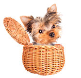 Happy yorkie toy standing in a basket Stock Photos