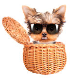 Happy yorkie toy with sun glasses in a basket Stock Photography