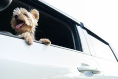 A happy Yorkshire Terrier dog is hanging is tongue out of his m royalty free stock photos