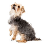 Happy Yorkshire Terrier Looking Up Royalty Free Stock Photography