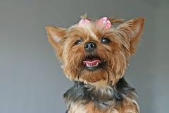 Happy Yorkshire Terrier portrait Stock Photography