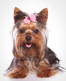 Happy yorkshire terrier puppy dog lye down Stock Images