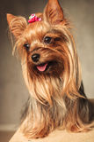 Happy yorkshire terrier puppy dog panting Royalty Free Stock Image