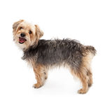 Happy Yorkshire Terrier Rescue Dog Stock Photography