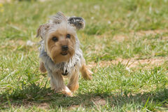 Happy yorkshire terrier running. Stock Photos